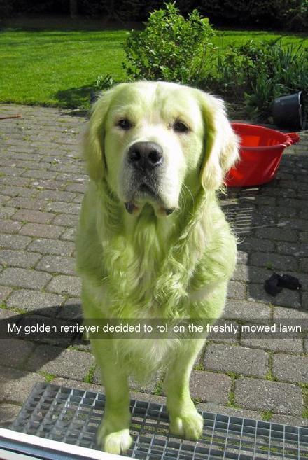 推上一位主人幸灾乐祸地表示,让狗狗在刚割完的草坪上玩耍就是这种后果