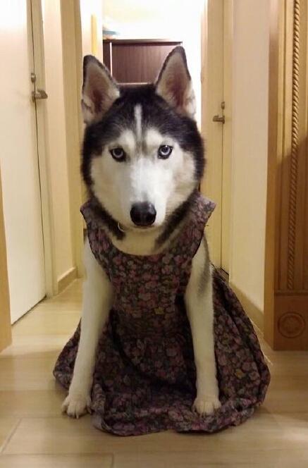 帮二哈穿上裙子之後,发現意外的适合二哈。。。二哈小公举好漂亮啊。。