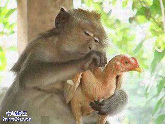 """两只母鸡在聊天,看到一只公鸡无精打彩的走来,母鸡问:""""咋地了?没精神?""""公鸡说:""""做点生意!""""母鸡问:""""做啥生意累这德性啊?""""公鸡不好意思的说:""""嗯……卖点鸡精……"""""""