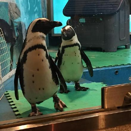 在水族馆偶然拍到一只企鹅,胸前几个黑点竟完全是北斗七星……感觉是隐藏极深的绝世高手:东方神企
