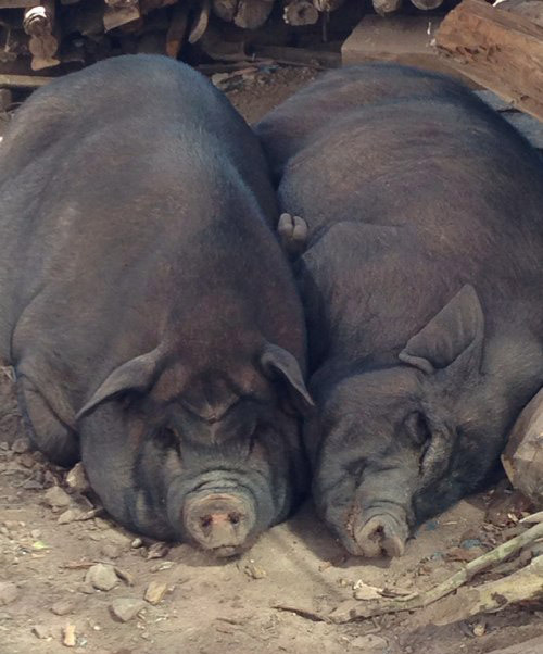 哥哥在部队帮哥们宰猪,一刀砍在脖子上没砍死,结果猪追着我哥愣是跑了十几分钟,求大神帮忙,他还在树上呢…