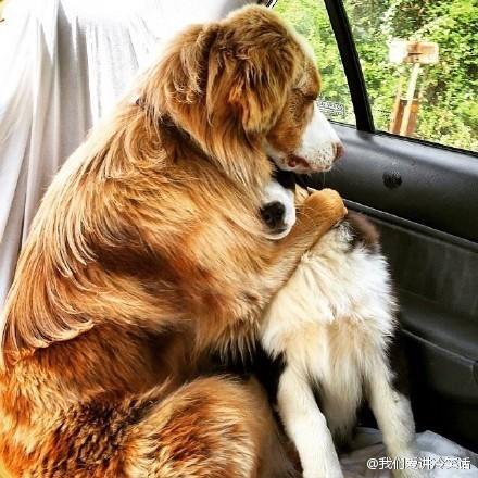 网友Federer45说他朋友家的两只狗上车后,以为是要去兽医那里,把人家吓得……主人其实是要带它们去公园~