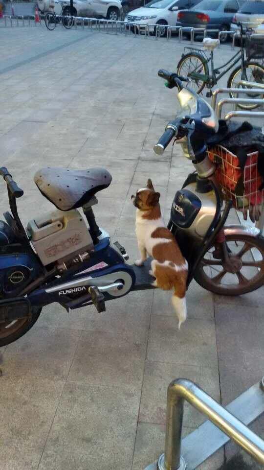 朋友在超市门口看到一大妈对一只狗狗说:别跟着,去看车去。。。她还很好奇呢!一出门果然看到这只狗狗坐在电动车上一动不动,哈哈,好乖乖的小东西