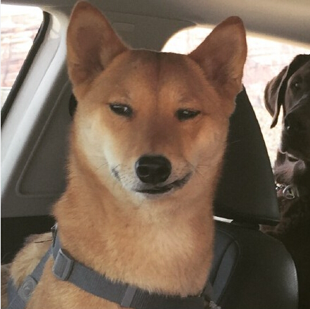 一只大帅比柴犬,简直邪魅狂狷