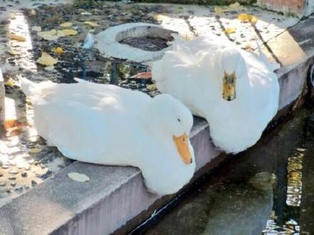 一小哥路遇池畔的两只鸭子,还真是萌化了...