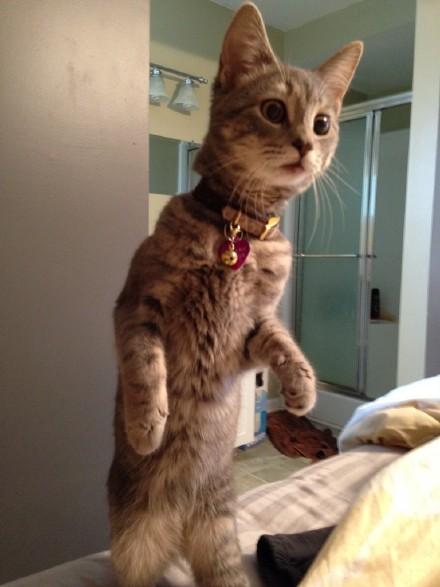 汤上有位朋友说她妹妹带了一只汪汪回家,这里家里喵喵听到有汪叫声后赶过来看个究竟时的表情
