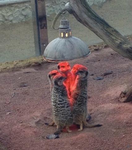 近日英国气温骤降,有人在动物园拍到灯下取暖的狐獴,它们围成一圈,好像在举行某种神秘的召唤仪式。