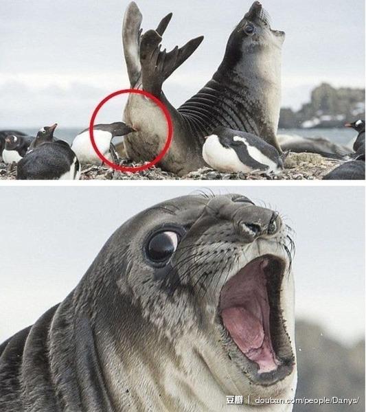 摄影师罗伊·曼格斯尼斯在南极拍到海豹闯入企鹅领地的画面:一只勇敢的小企鹅对海豹发动了啄屁屁技能!海豹君这表情不知是痛苦、还是酸爽。。。