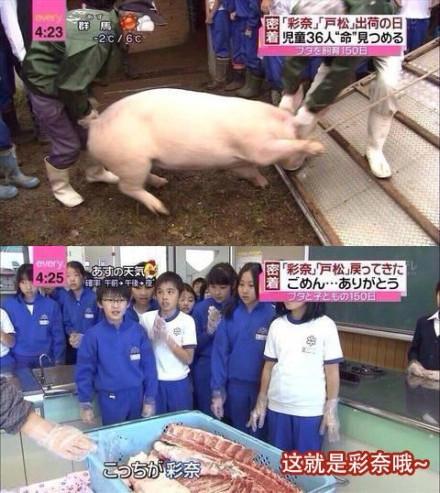 """日本的一档催泪节目:让36名儿童共同饲养两只猪仔,全程跟踪孩子们惧怕讨厌小猪、逐渐喜爱小猪视如弟妹、为小猪取名""""彩奈""""和""""户松""""、历时5个月终于把小猪养大、最终挥泪送别的感人历程……【然后节目组把彩奈剁成了猪排,特意送回来给孩子们看了一下"""