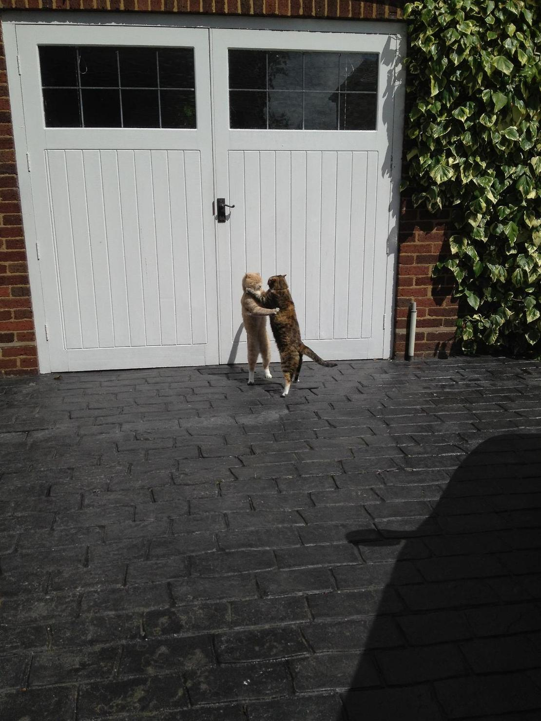 两只猫的华尔兹
