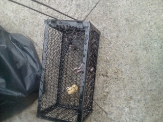 上星期店里跑进来一只老鼠,各种粘鼠板,老鼠夹,老鼠笼都用上了就是没抓到。然后就不是很在意了,今天无意间去看了下,额~由于我的疏忽它被我饿死了,,,
