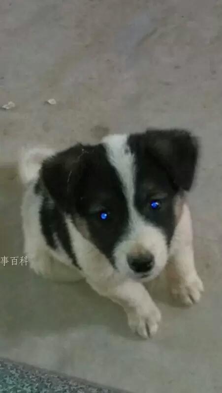 钛合金,哦不,是蓝宝石狗眼,