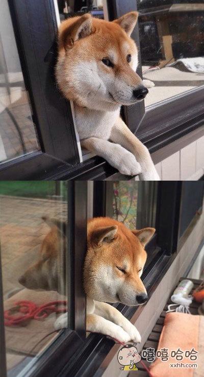 一日本网友说他开窗看风景,看到他家的汪也在旁边看,过了一会。。。。。汪被卡住了!
