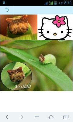 这种中国布朗阿格斯蝶的幼虫毛毛虫因为长了张类似Hello Kitty的脸,让其最近在日本大为受宠.......「转」对这个连虫子都看脸的世界绝望了.....