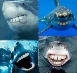鲨鱼为什么牙是尖的。如果是平的就和哈士奇一样了。
