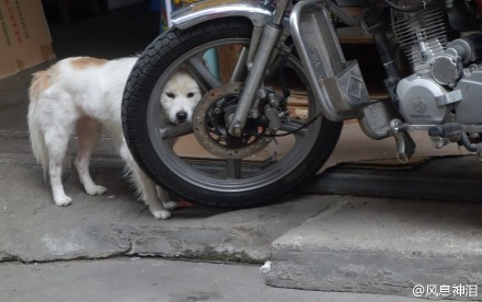 """路过小巷,发现有只狗的头摩托车轮子里,以为它卡住了,过去扶住它的头往后扯,居然很轻松就缩了回来。它挣脱我的手,又把头塞回去。我迷惑了,下意识的再次把它头往后拉,结果这位愤怒的""""汪!""""了一声,喷着粗气,重重的将头镶回摩托车轮子空隙里……我悻悻的走掉了。#大大冷艳高贵的爱好真难懂啊!#(风息神泪)"""