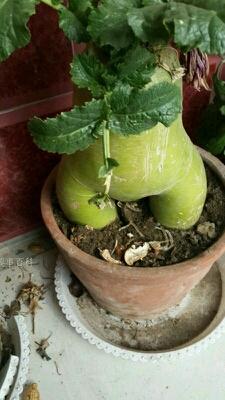看着这个萝卜快成精了…有木有