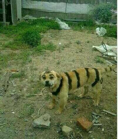 哥们花了3万块偷偷买了一只东北虎,大家看看我是不是被骗了!!!!
