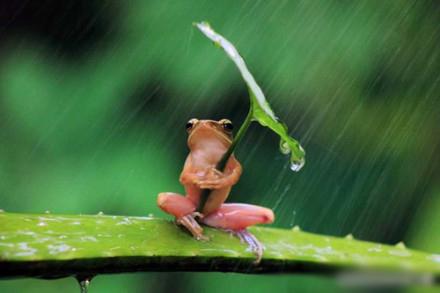 在印度尼西亚一只树蛙被拍到抱着树叶躲雨,摄影师表示这只树蛙抱了半小时才撒手~