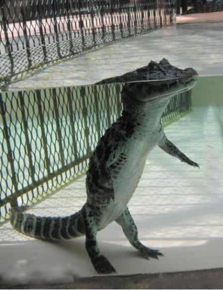 原来水中的鳄鱼是这样的,补脑了!!!!!