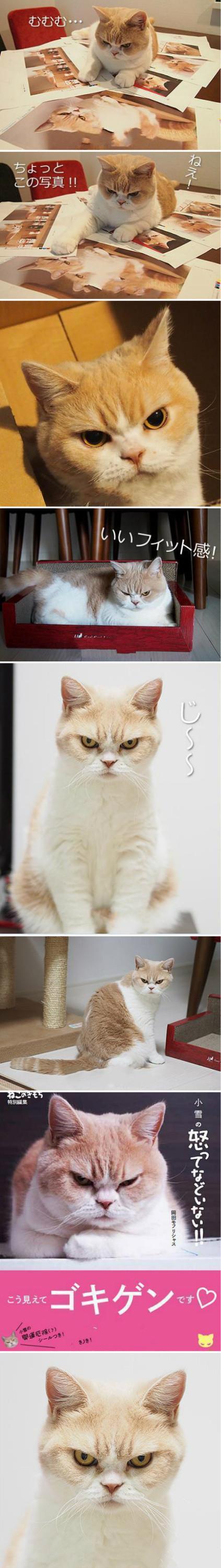 它叫koyuki,中文名小雪,今年7岁,女孩儿。你看它满脸的愤怒,其实它并没有生气,只是天生一副怒颜和那杀气十足的眼神。最近还出了本书,叫《小雪并没有生气》。