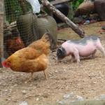 """一只鸡问猪:""""主人呢?""""猪:""""出去买蘑菇了。""""鸡听了撒丫子就跑。猪说:""""你跑什么?""""鸡:""""草泥马,有本事主人买粉条的时候你小子别跑!"""""""