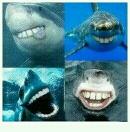 有人问为什么鲨鱼的牙都是尖的,有人答:因为如果不是尖的,鲨鱼看起来会特2b。