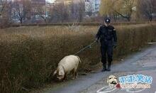 据说是因为局里警犬不够用了