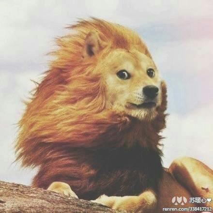 一只非洲狮子,在张家口被按成了狗。(via 逗比)