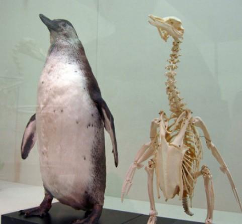 其实企鹅的脖子很长,只是它是个胖纸… (图:江氏小盗龙)
