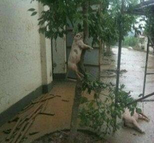 男人靠得住,猪都能上树。猪真的上树了。。。真的