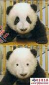如果大熊猫没了黑眼圈后..