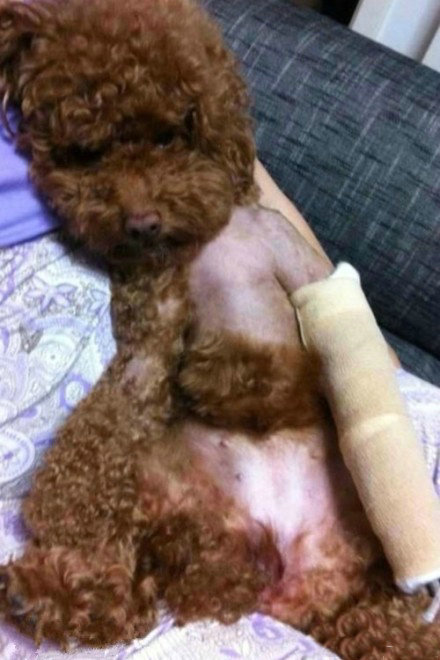 家里的狗受了伤,本应难过,但是一见到它我就憋不住想笑.....