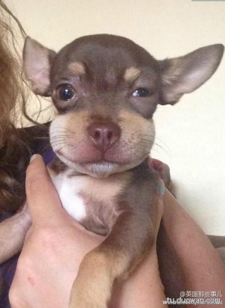 可爱的狗狗在外面玩的时候,吃了一只蜜蜂,脸肿了……………………不过肿的好可爱啊啊啊啊啊啊啊!