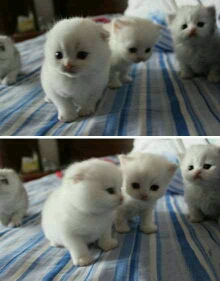 一窝布偶猫,想要的举手!
