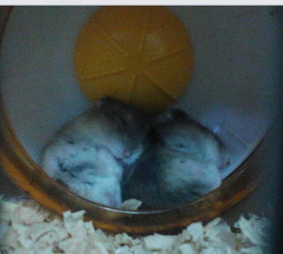 我家仓鼠这样睡觉的耶。。第一代。。。如今已经第十几代了。。计划生育很重要