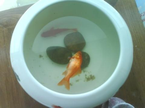 家里的鱼死了,浮在水面,我大叫到;爸爸浮起来了!