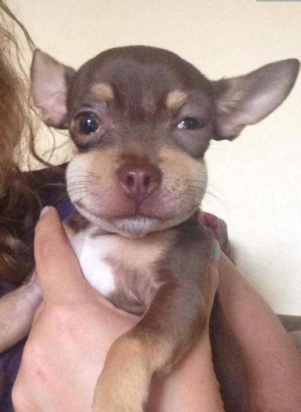 狗狗吃了一只蜜蜂脸肿了。。。可是。。肿的好可爱啊哈哈哈哈哈。。。。