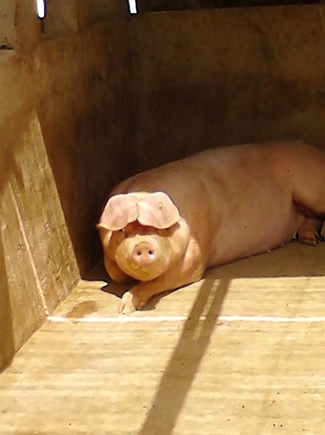 这年头,连猪都做造型了