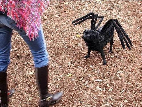 蜘蛛狗,见过吗?