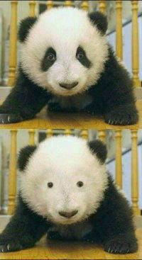 当熊猫失去了熊猫眼。。。