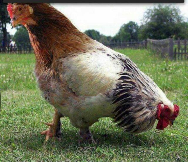 谁看过双头鸡,我家有