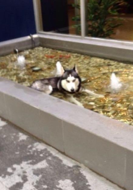 谁家走丢一条哈士奇阿?你家狗现在在奔驰smart展厅门口的水池假装自己是条鱼。快点接他回家啊喂