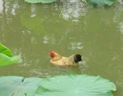 你让鸭子情何以堪!!!