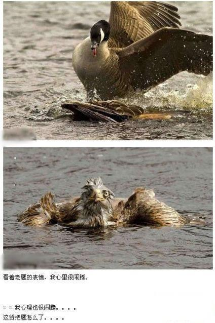 谁说大鹅好欺负?老鹰为了找吃的掉到湖里,结果被大鹅暴揍。看着老鹰的表情,我心里很闹腾。