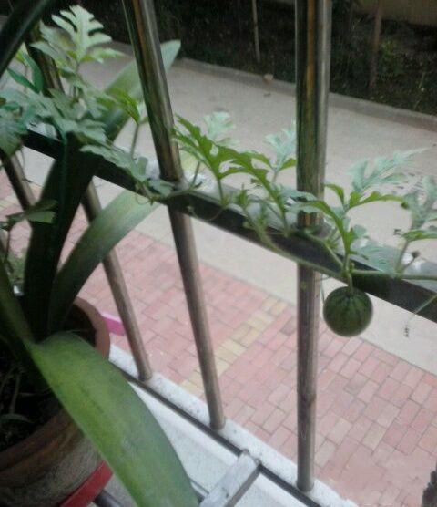 试着在花盆里种西瓜,结果种出个迷你的