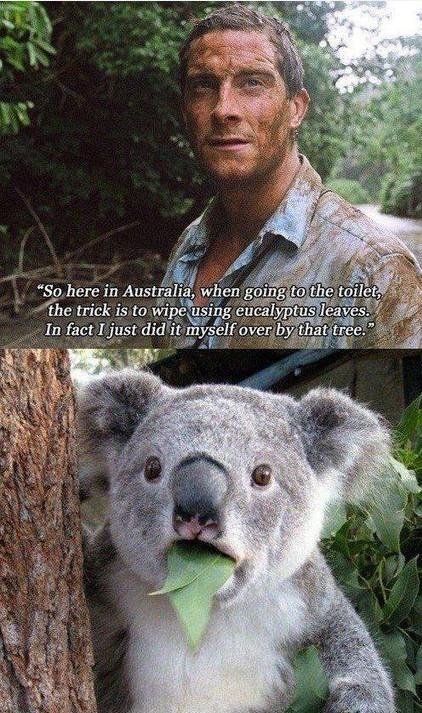 """贝爷:""""在澳洲,我们在上厕所的时候,诀窍就是用桉树叶代替手纸,你看,我刚刚就这么干了一次,感觉好极了!""""考拉:""""……"""""""