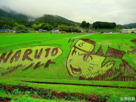 把各种水稻摆成了鸣人的形状,成熟以后就是这样啦!XDD