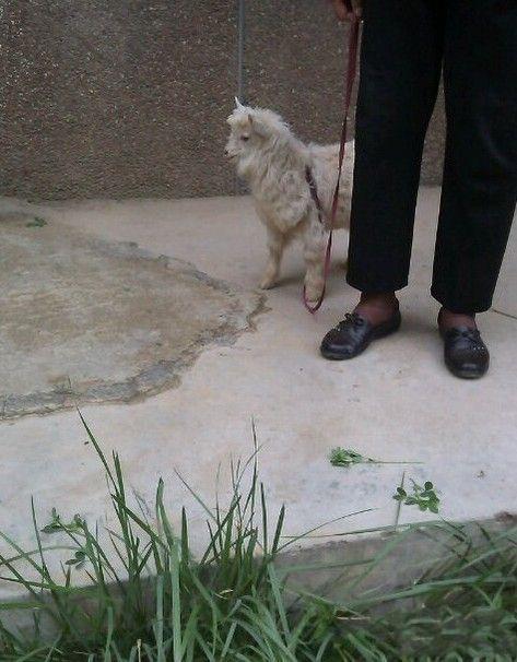 时代在进步,我领着狗散步的时候,小区大妈在溜羊…