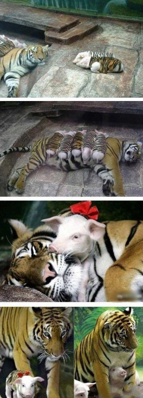 愚蠢的人类,我是为了养肥了再吃 美国加州动物园一只老虎早产生下三胞胎全都夭折, 母虎因此患上产后忧郁症,动物园只好找到了一窝猪 宝宝,在小猪仔身上裹上虎皮,送到了虎妈妈身边,奇迹出现!小猪仔不但没成为虎口之食,反而唤起了 虎妈妈的母爱天性,把猪宝宝当做自己的孩子疼爱, 老虎的身体也逐步恢复了健康。